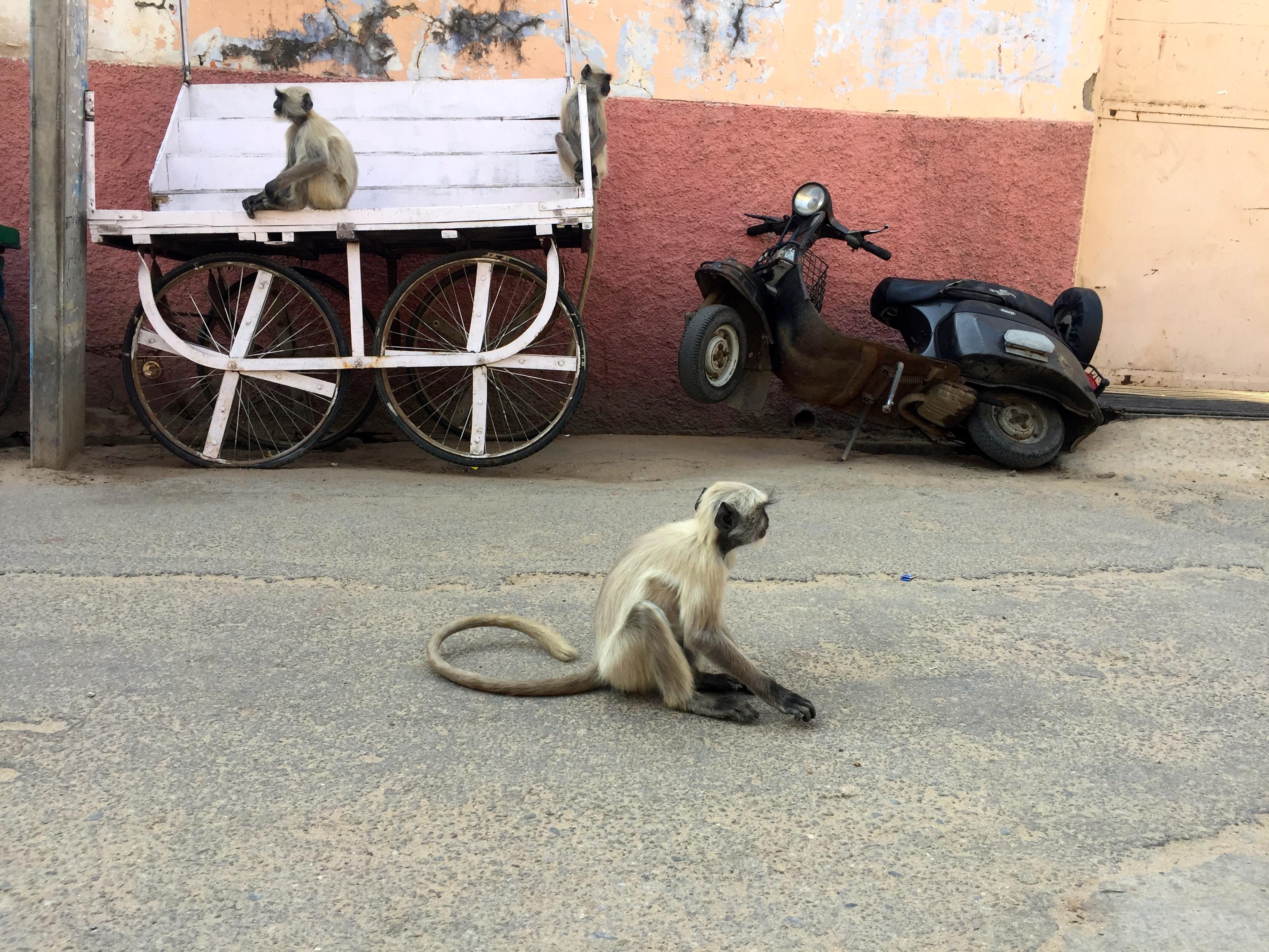 Hanuman-Languren in den Straßen von Pushkar