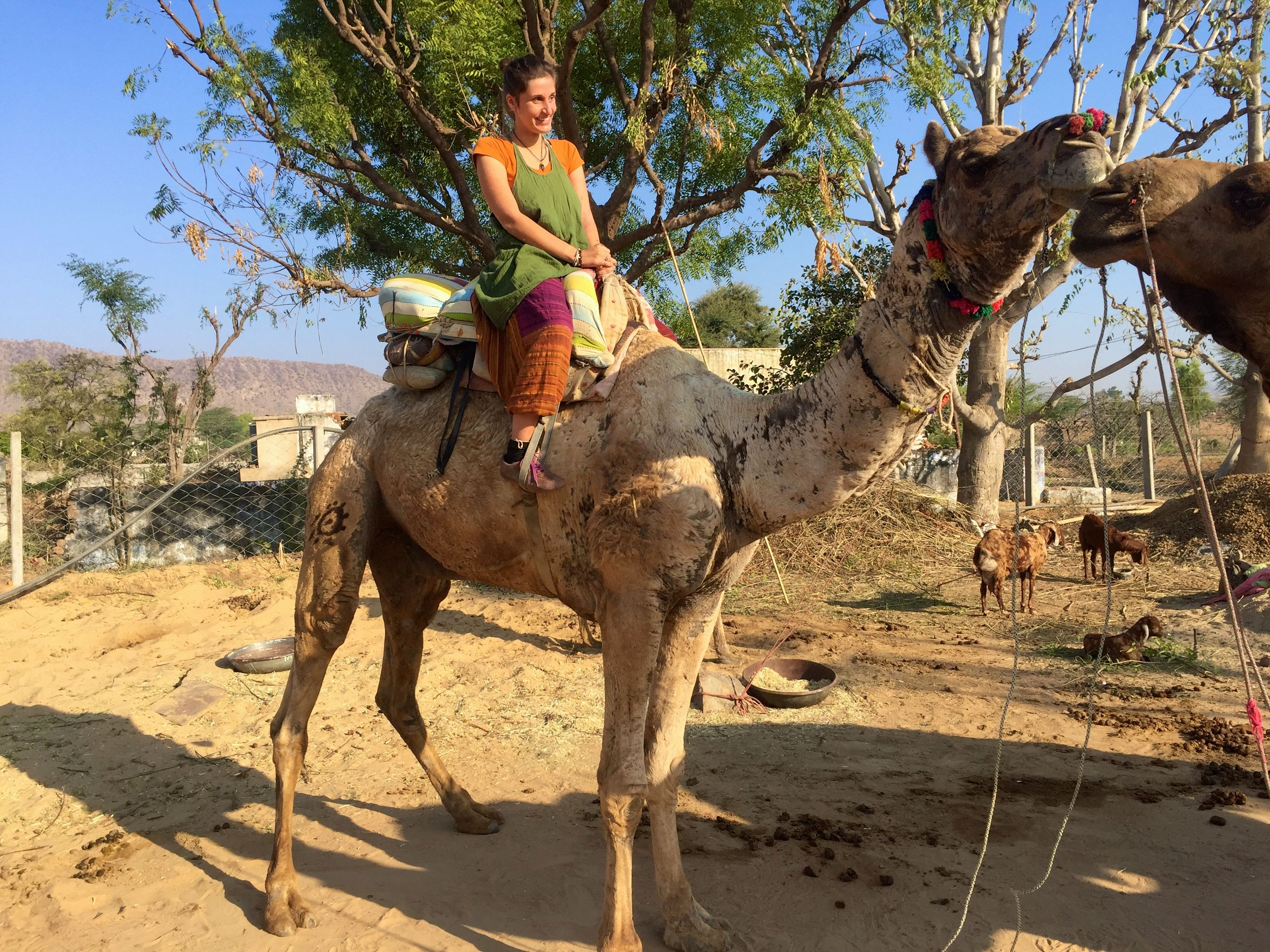 Kamele in der Thar-Wüste